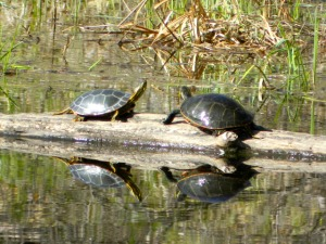 Two turtles on a log in a lake