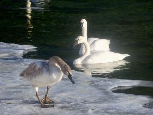 swans - 1