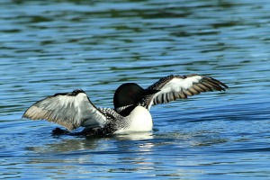 Loon picture by Nancy Wilkins.