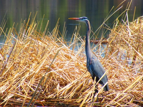 Brad Lee's Great Blue Heron