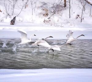 Swans Flying, Deane Park